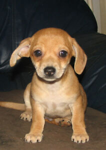 "Chihuahua x Dachshund ( Chiweenies)"" Simply Irrisistible"""