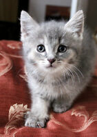 chaton gris, poils courts,  tres affectueuse, calm, sweet kitten