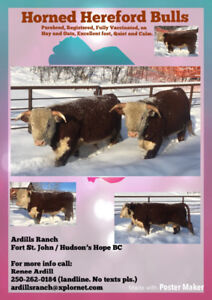 Horned Hereford Bulls for sale