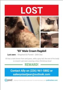 Possible Stolen Ragdoll/Himalayan. Please contact if seen