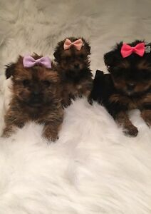 ⚜ Doll Faced Teacup Morkie (Maltese / Yorkshire Terrier)Babies ⚜