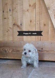 Morkie Puppies For Sale ( Maltese /Yorkie mix)