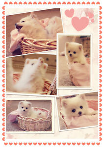 GORGEOUS❤️ Perfect TINY TOY POMCHI POMERANIAN CHIHUAHUA PUPS ~~
