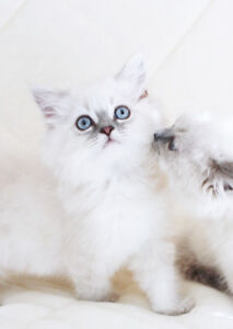 DOLLFACE  PUREBRED PERSIAN KITTENS FOR REHOMING