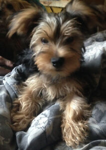 Female Yorkshire Terrier Puppy For Sale.