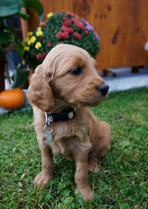 F1 red/gold Golden doodle Puppies