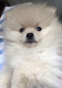 Ready Now - Adorable and Very Friendly Pomeranian Puppies
