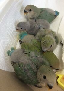Hand tamed BABY LOVEBIRDS.