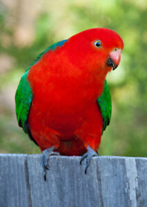 Hand raised super friendly rare Australian King Parrot babies