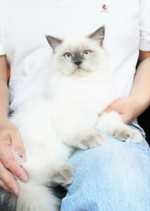 Very Fluffy  Male Ragdoll Lilac Point Kittens