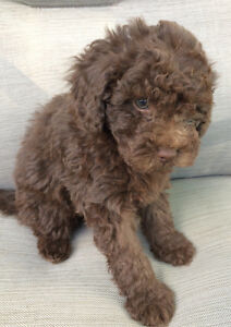 Beautiful chocolate teddy bear face toy poodle