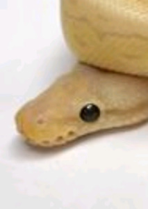 Looking for my first snake:)