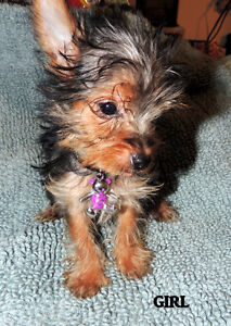 """ MY DREAM YORKIE BABIES ! ""... ONLY 2 LEFT NOW"