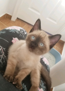 11 week Siamese cat/ kitten looking for her forever home