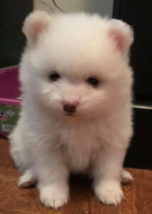 CKC registered WHITE pomeranian puppies available !
