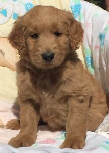 Gorgeous red golden doodle puppies