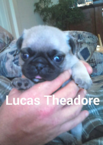 1 MALE PUG PUPPY LEFT FROM THE CRAZY PUG LADY