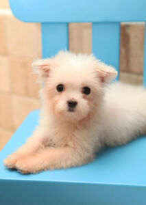 Purebred Maltese Puppy Teacup Girl 3 lbs
