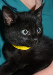 Burmese x kittens