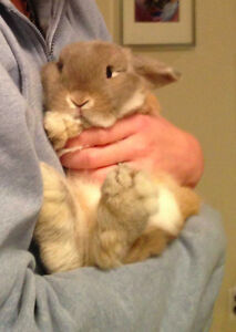 Sweet Holland Lop Rabbit/Bunny