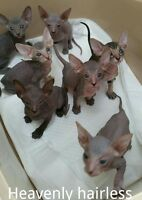 HAIRLESS RAREST RUSSIAN PETERBALD KITTENS