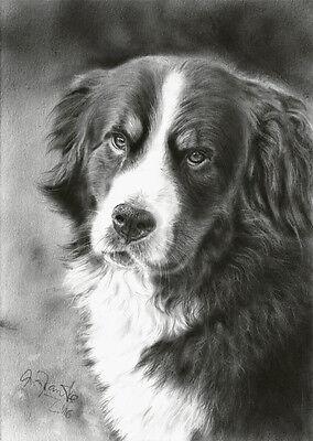 Original Zeichnung Berner Sennenhund Bernese mountain dog drawing von A. Franke