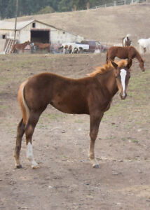 2017 foals for sale