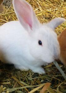 White Mini Rex/Lop Bunny!
