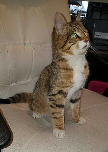 Found young female domestic short-hair tabby cat