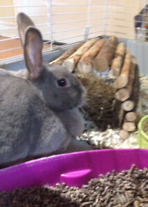 Dwarf Rabbit to good home.  Not asking for $