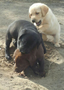 ADORABLE YELLOW, BLACK & CHOCOLATE LAB PUPPIES (Ready to go)