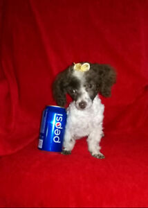 Chiots caniche tiny toy&teacup & aussi bichon x yorkshire=morkie