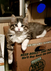 Mainecoonx kittens ready to go!! $300