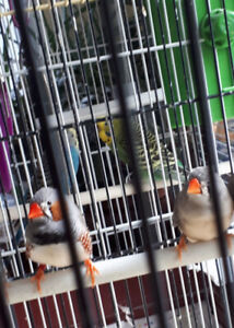 Finch pair for sale