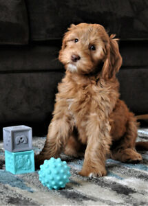 Free Australian Labradoodle Puppy??   Be a Guardian Family