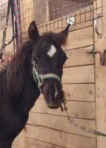 Flashy black  reg welsh x 7 month old colt  London Ontario image 1