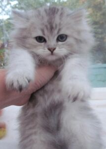 Looking a ragdoll or himalayan kitten/ young cat