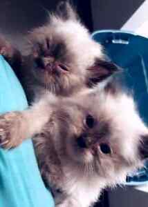 Purebred ragdoll female mother and ragdoll/manx kitten for trade