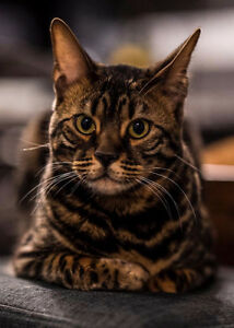 Bengal Cat in need of new home
