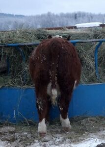 Feeder Steers For Sale
