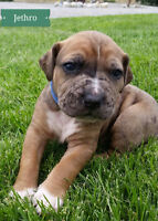 ONLY 2 CATAHOULA BULLDOG PUPPIES LEFT !!!