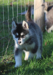 CKC Registered Alaskan Malamute Puppies!! Only 2 left!
