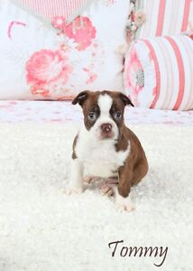 1 Red Boston Terrier Puppy for Sale, 1 Black and white Splash