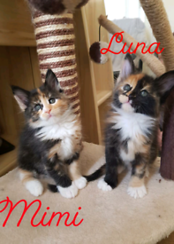 Maine Coon Kittens Ready For Reservation