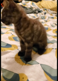 Kittens bengal cross silver tabby