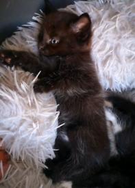 Rare Colour Kittens Ready Now 2 left