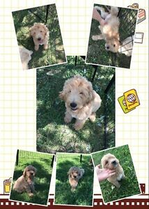 Beautiful Golden Doodles goldendoodles or Red colored