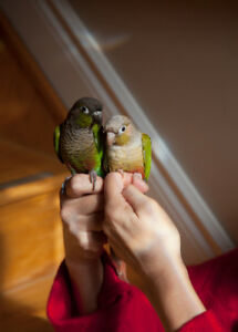 Hand Raised Young Green Cheek Conure Breeding Pair - Brockville
