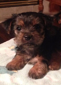 Yorkie Puppies - Hypo Allergenic Small Breed
