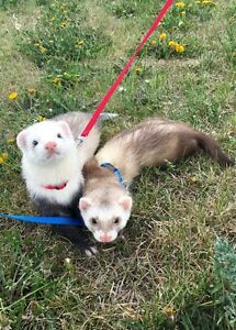 Ferrets to rehome